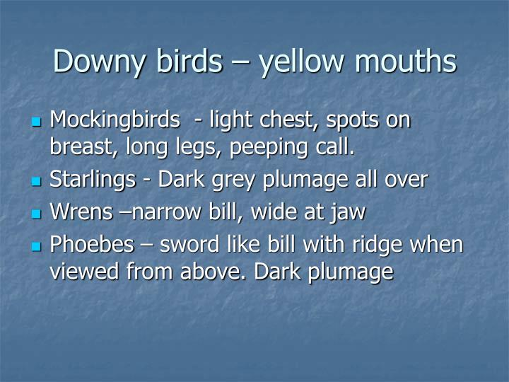Downy birds – yellow mouths