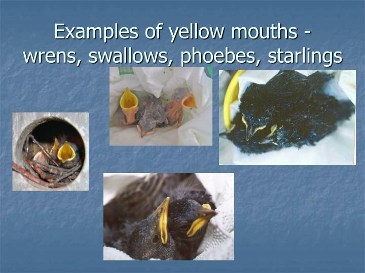 Examples of yellow mouths - wrens, swallows, phoebes, starlings