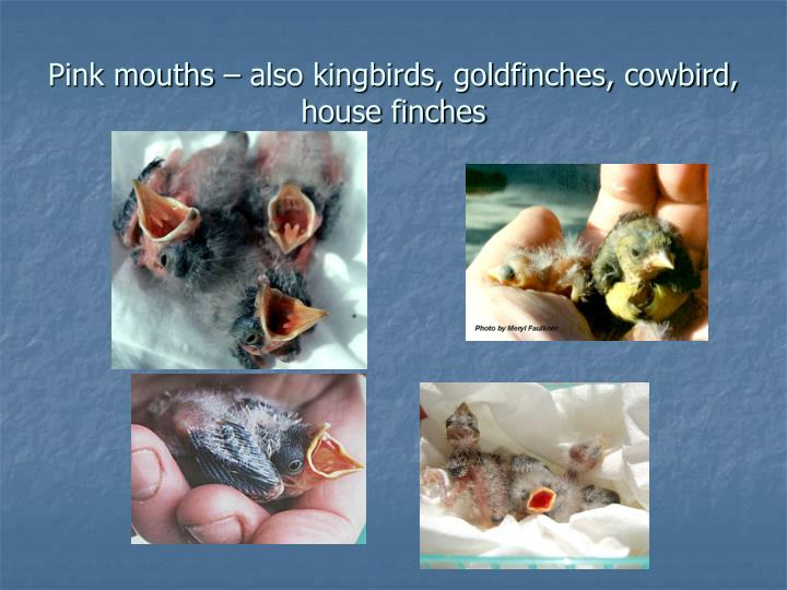 Pink mouths – also kingbirds, goldfinches, cowbird, house finches