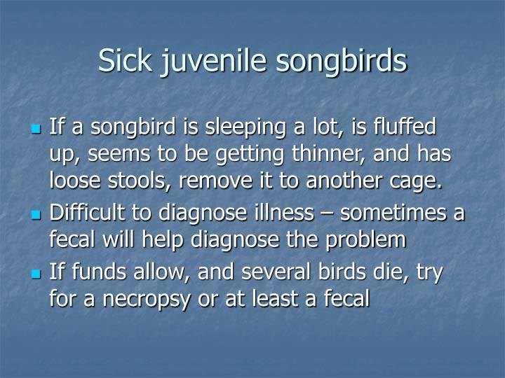 Sick juvenile songbirds