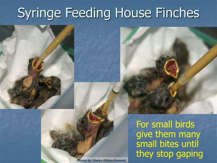 Syringe Feeding House Finches