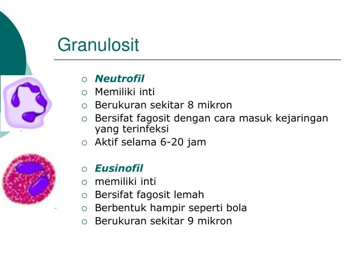Granulosit