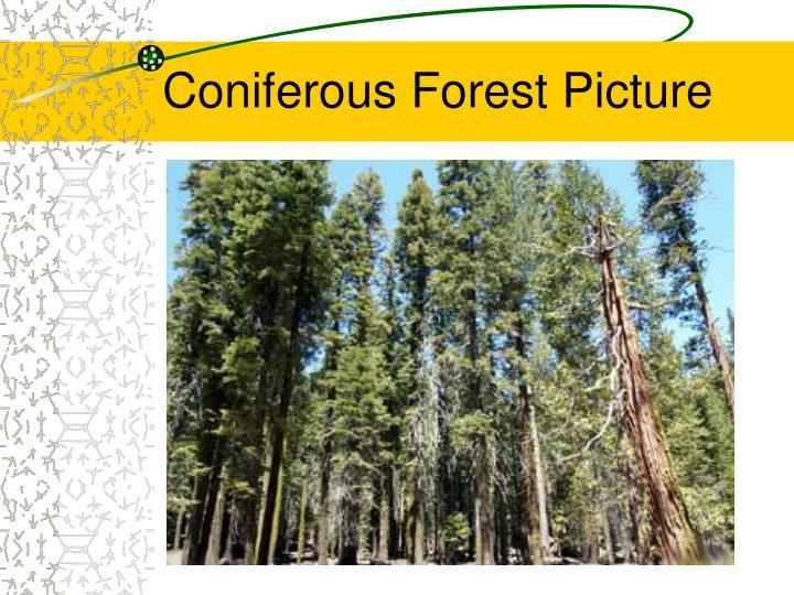 Coniferous Forest Picture