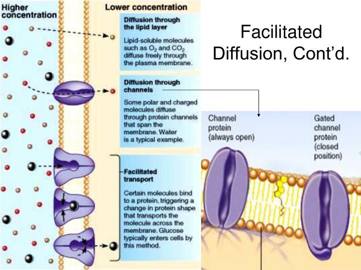 Facilitated Diffusion, Cont'd.