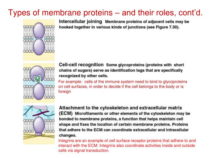 For example:  cells of the immune system need to bind to glycoproteins on cell surfaces, in order to decide if the cell belongs to the body or is foreign
