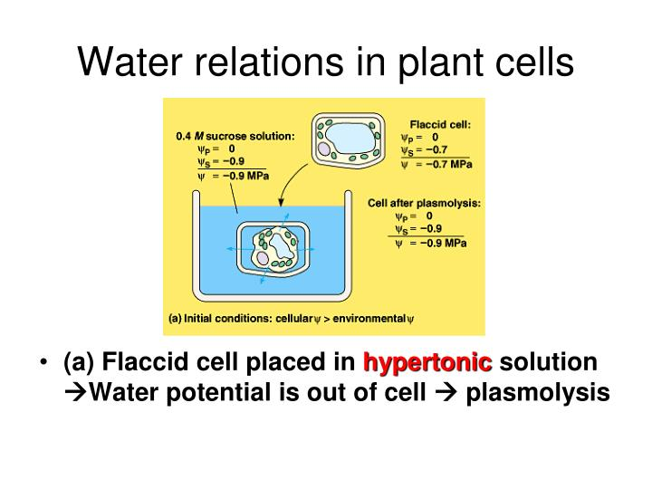 Water relations in plant cells