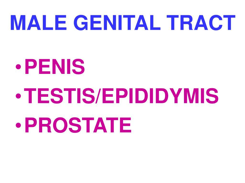 MALE GENITAL TRACT
