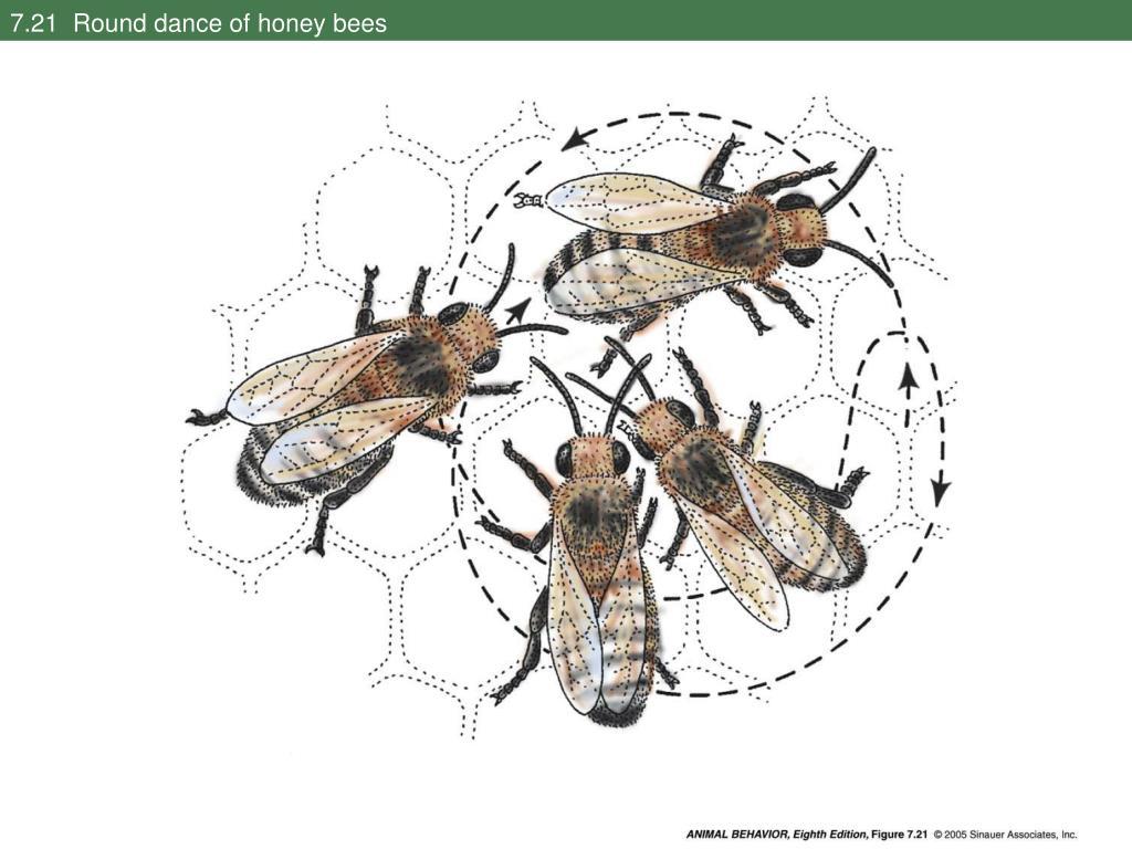 7.21  Round dance of honey bees