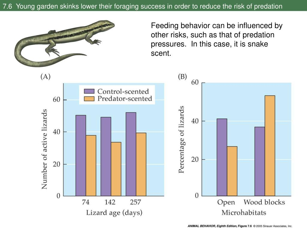 7.6  Young garden skinks lower their foraging success in order to reduce the risk of predation