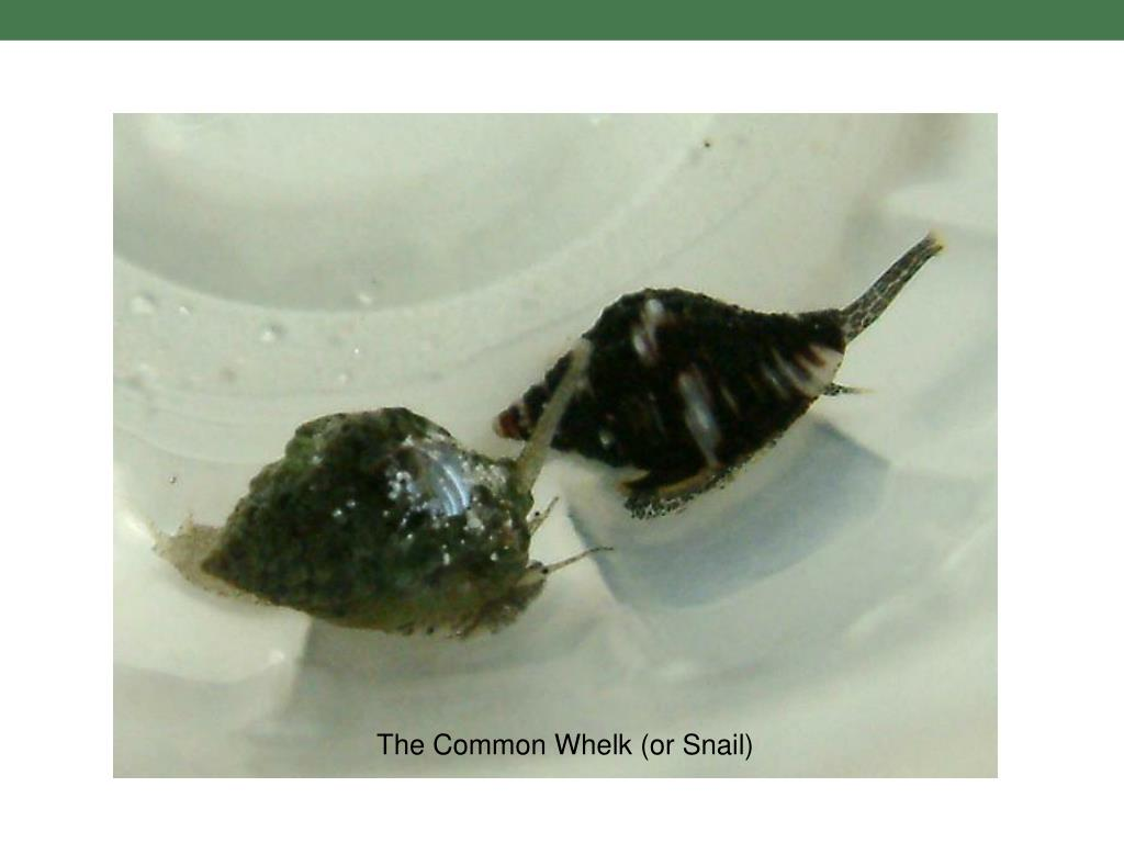 The Common Whelk (or Snail)