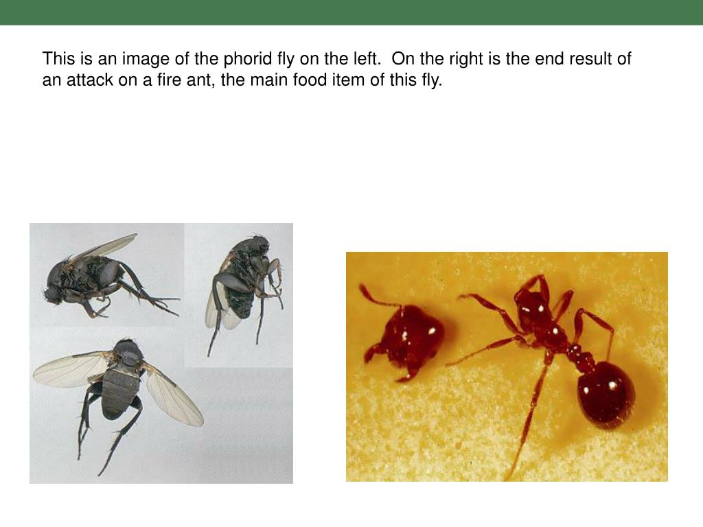 This is an image of the phorid fly on the left.  On the right is the end result of an attack on a fire ant, the main food item of this fly.