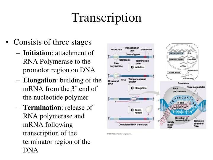 Transcription1