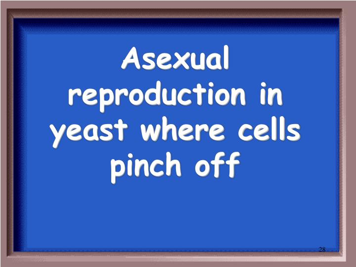 Asexual reproduction in yeast where cells pinch off