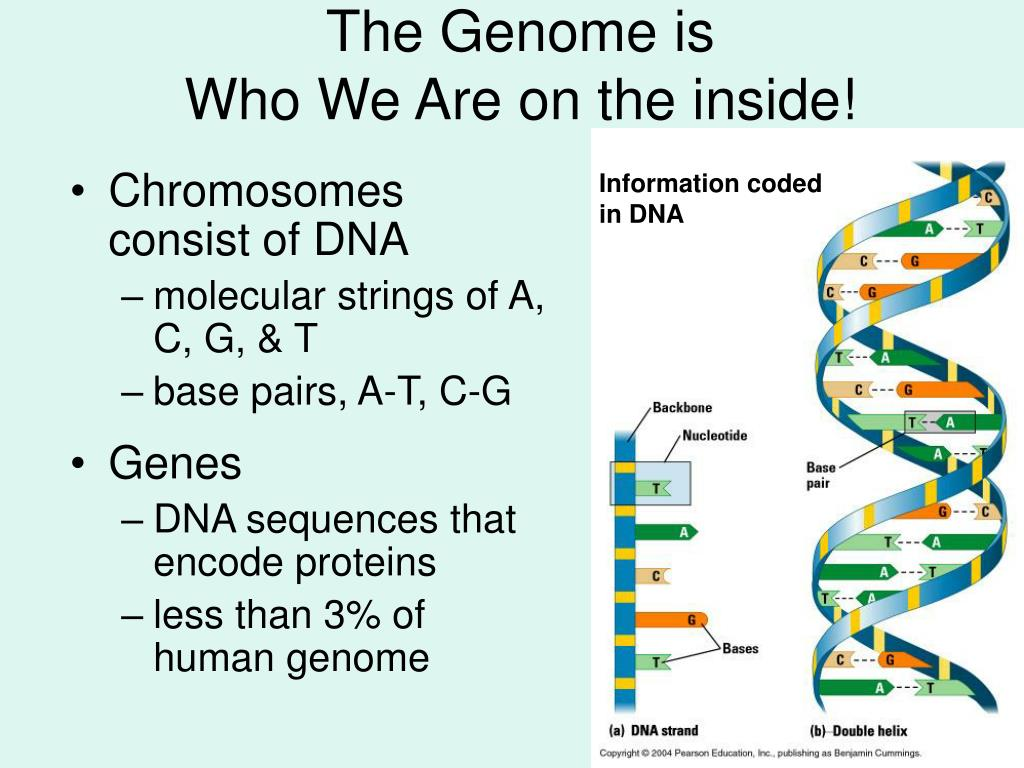 The Genome is