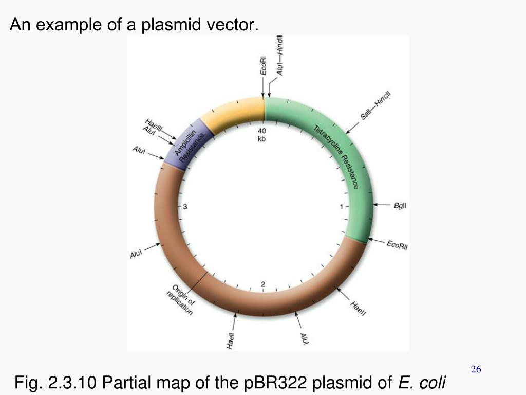 An example of a plasmid vector.