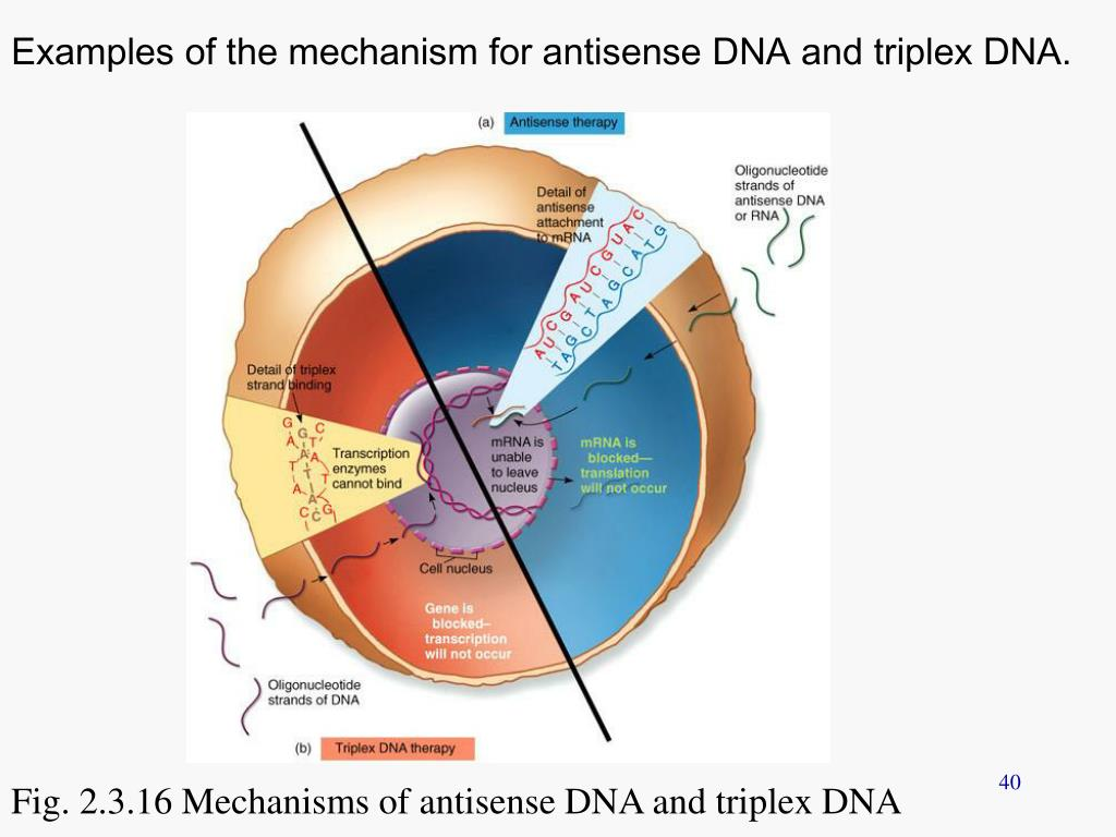Examples of the mechanism for antisense DNA and triplex DNA.