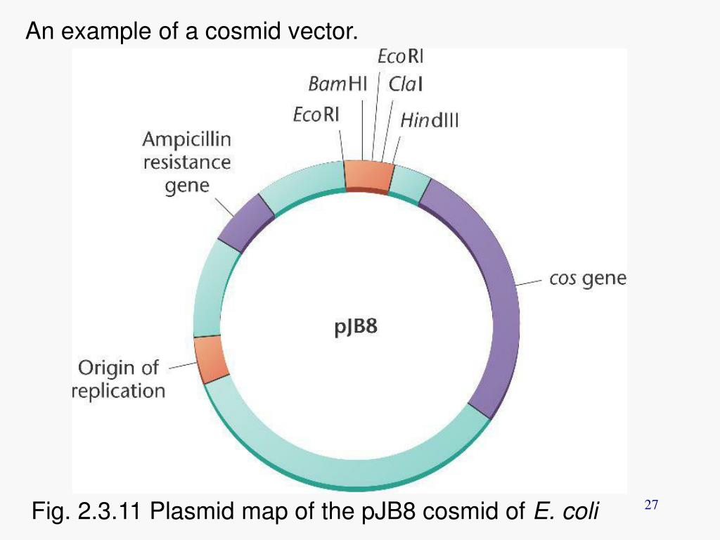 An example of a cosmid vector.