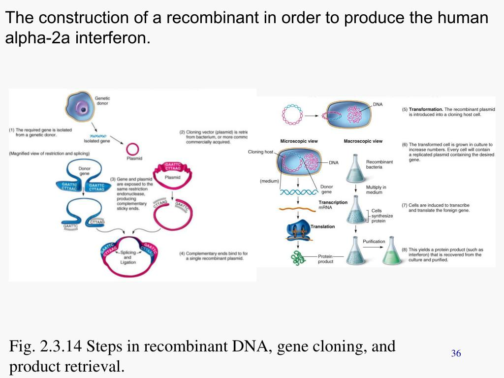 The construction of a recombinant in order to produce the human alpha-2a interferon.