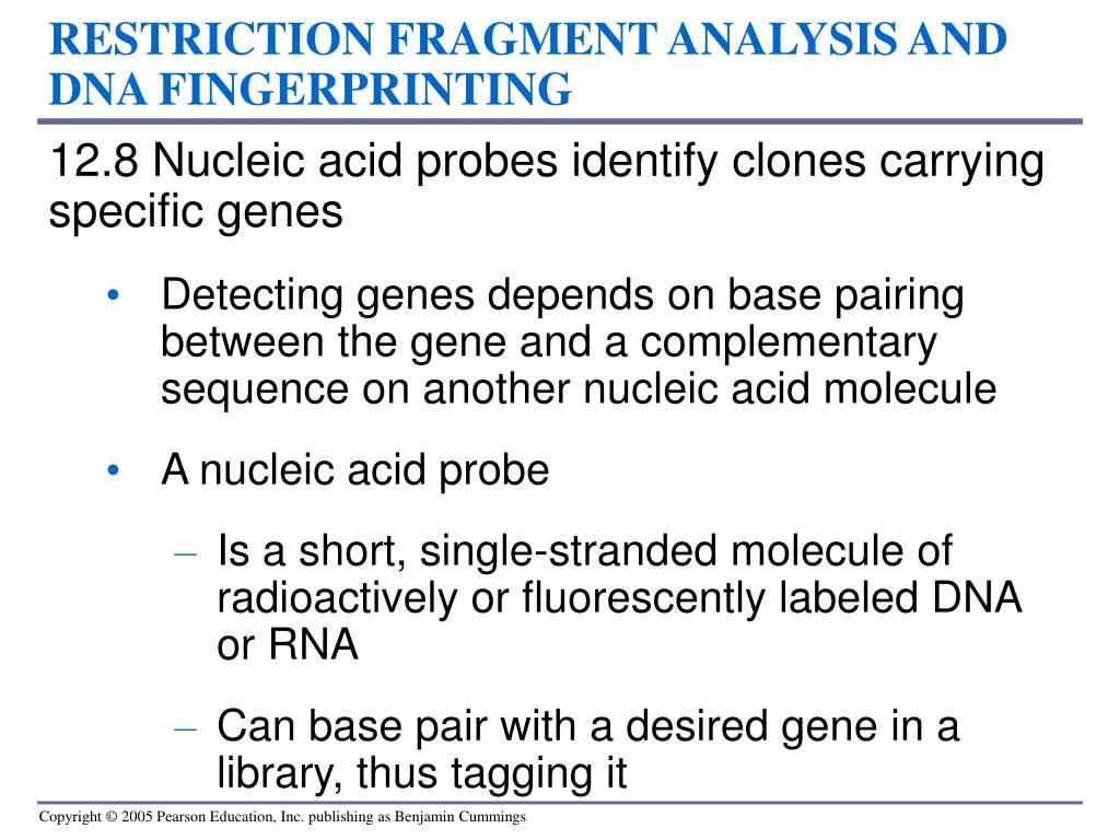 RESTRICTION FRAGMENT ANALYSIS AND DNA FINGERPRINTING