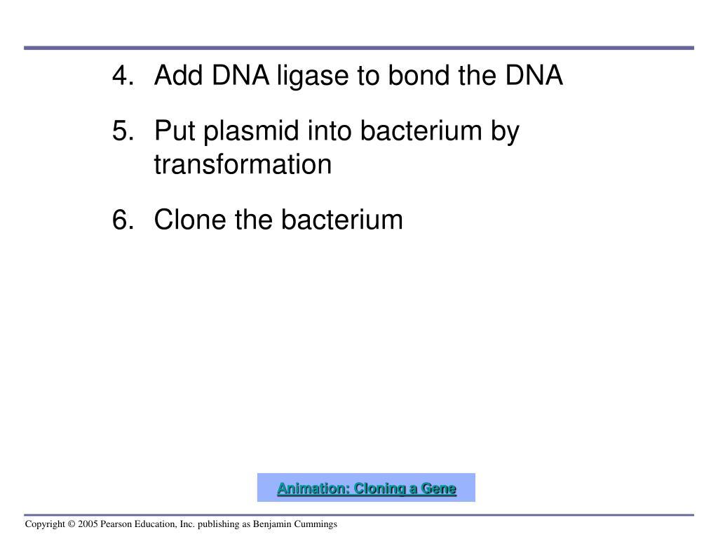 Add DNA ligase to bond the DNA