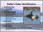 steller s eider identification