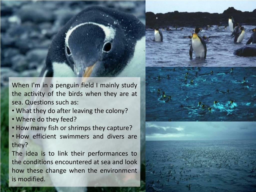 When I'm in a penguin field I mainly study the activity of the birds when they are at sea. Questions such as:
