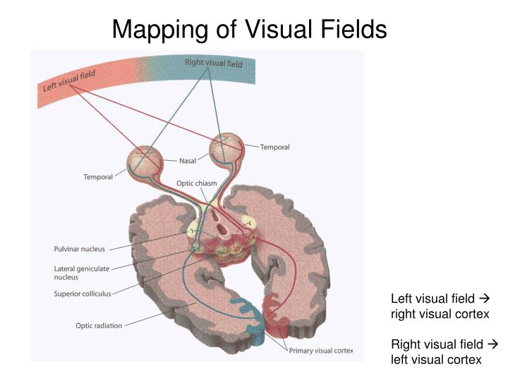 Mapping of visual fields