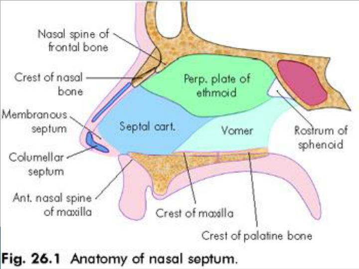 Ppt Nasal Septum And Its Diseases Powerpoint Presentation Id834932