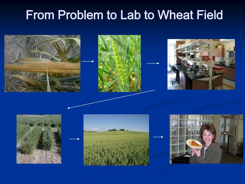 From Problem to Lab to Wheat Field