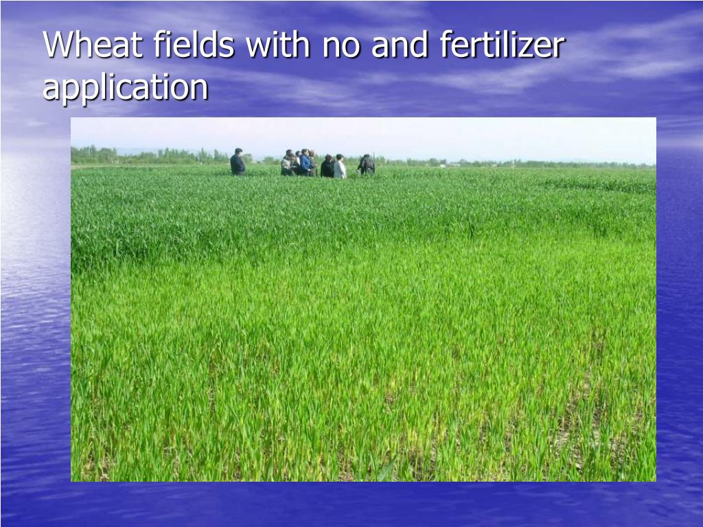 Wheat fields with no and fertilizer application