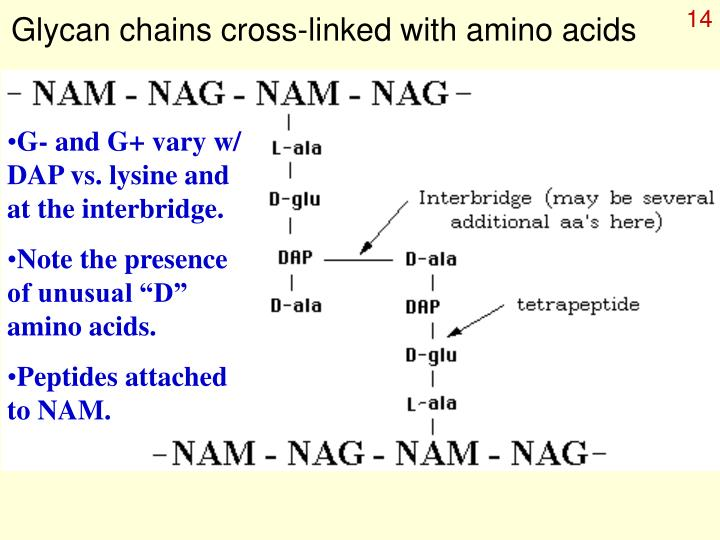 Glycan chains cross-linked with amino acids