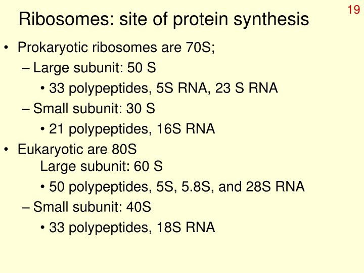 Ribosomes: site of protein synthesis