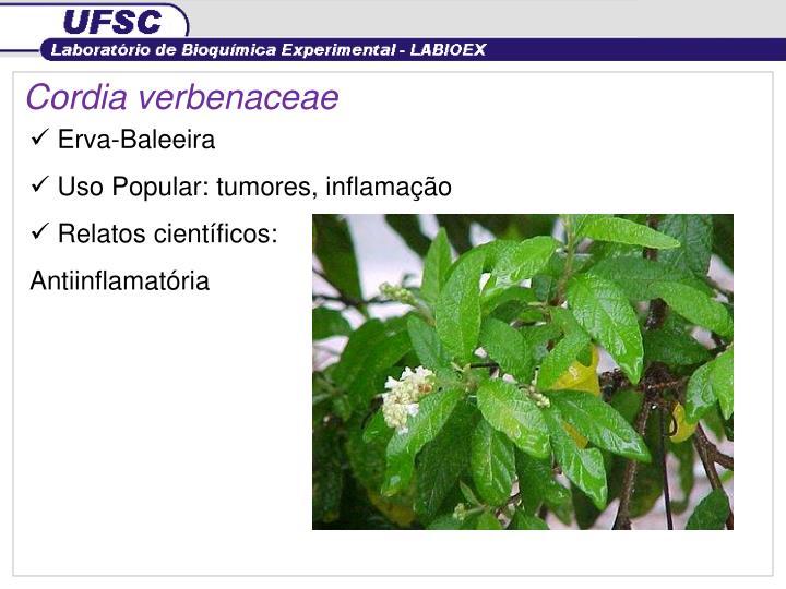 Cordia verbenaceae