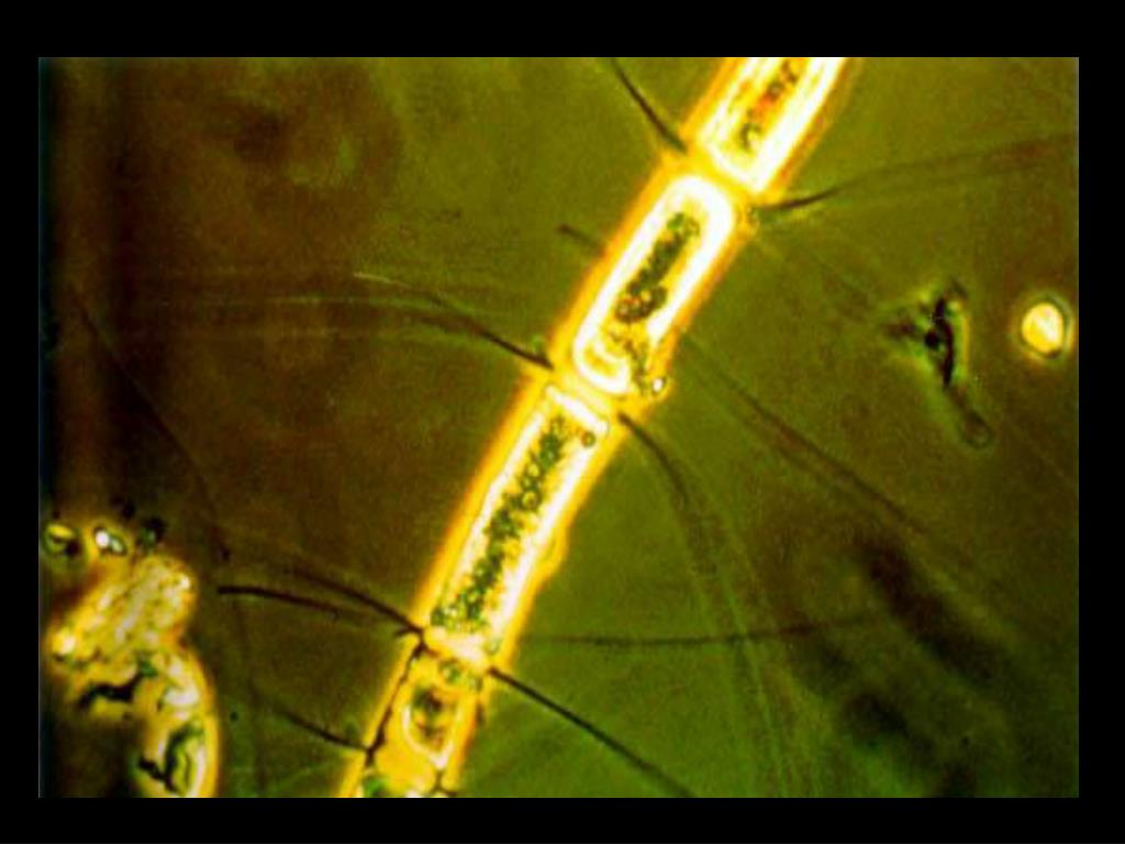 26. Phytoplankton