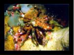 34 decorator crab