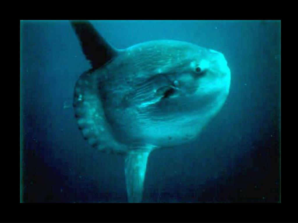 38. Ocean sunfish