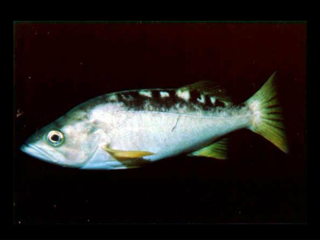 40. Yellowtail rockfish