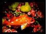 46 rosy rockfish