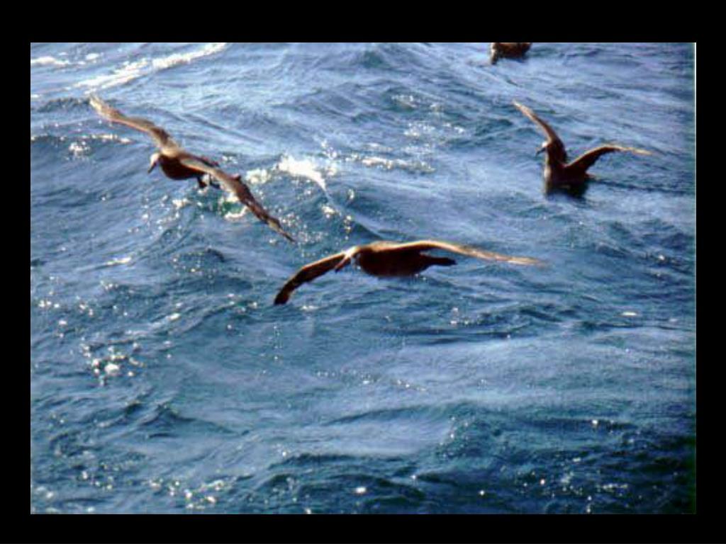 54. Black-footed albatross