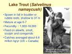 lake trout salvelinus namaycush