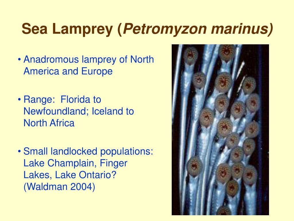 Sea Lamprey (
