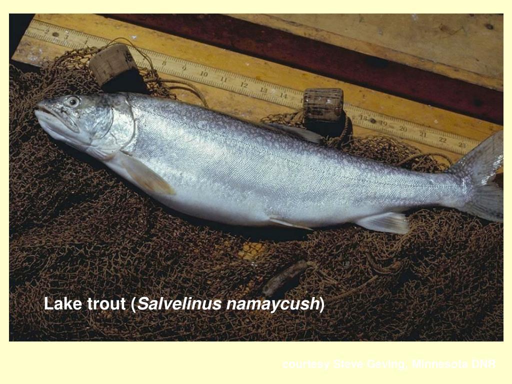Lake trout (