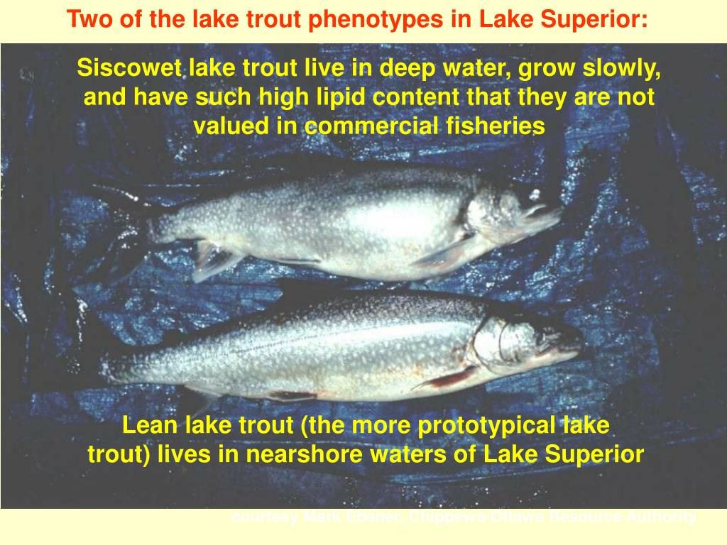 Two of the lake trout phenotypes in Lake Superior: