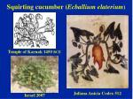 squirting cucumber ecballium elaterium