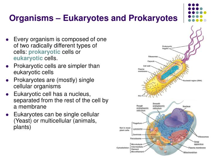 prokaryotes and eukaryotic organisms Prokaryotic & eukaryotic organisms study play which of the following is true about the genetic material of eukaryotes and prokaryotes eukaryotes and prokaryotes both have dna, but it is only enclosed in a membrane in eukaryotic cells cells can be differentiated by their cell structures.