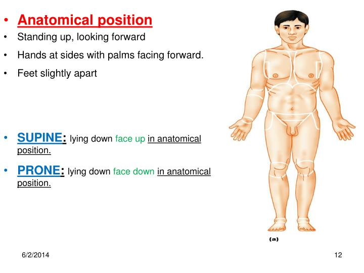 PPT - ANATOMICAL REGIONS, DIRECTIONS, BODY CAVITIES. THE CELL ...