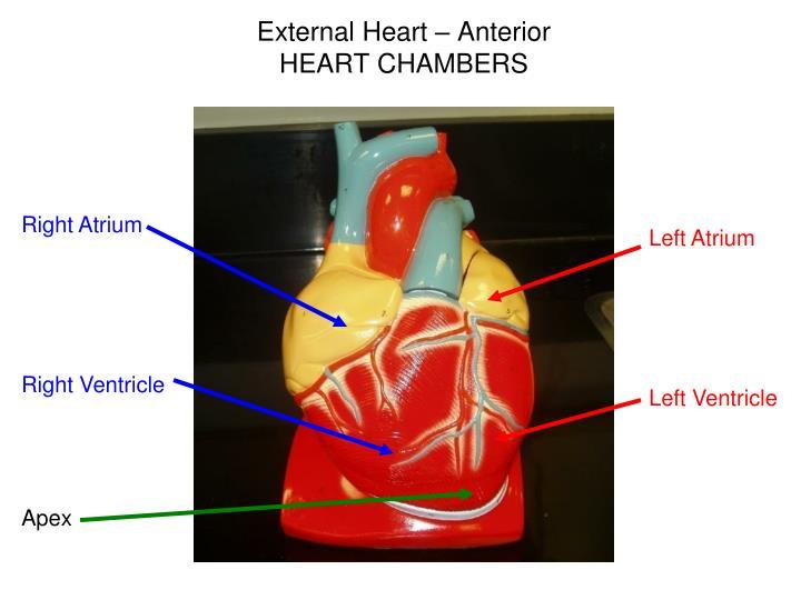 External heart anterior heart chambers