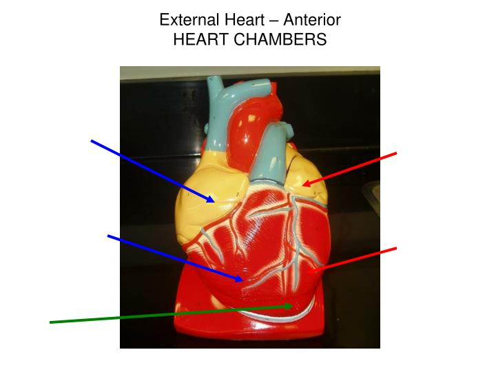 External Heart – Anterior