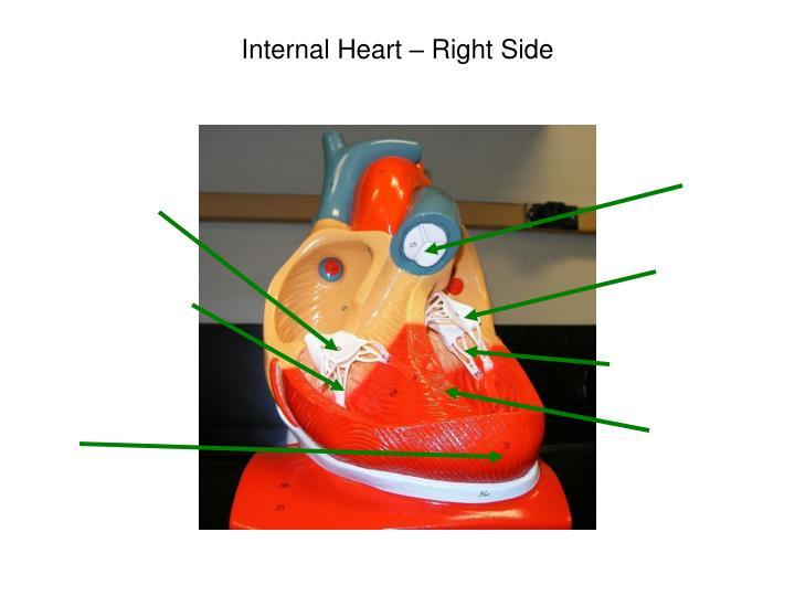 Internal Heart – Right Side