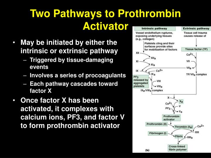 Two Pathways to Prothrombin Activator